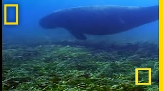 Dugongs vs. Tiger Sharks | National Geographic