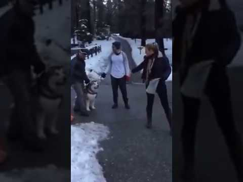 Malamute so happy in the snow doesn't want to go home!