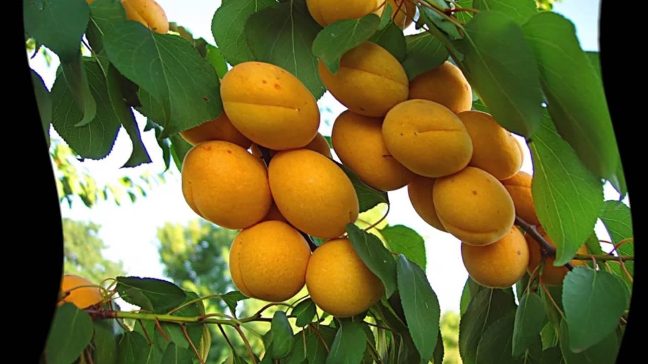9 полезных свойств абрикоса, отличие от жерделы, польза кураги 82