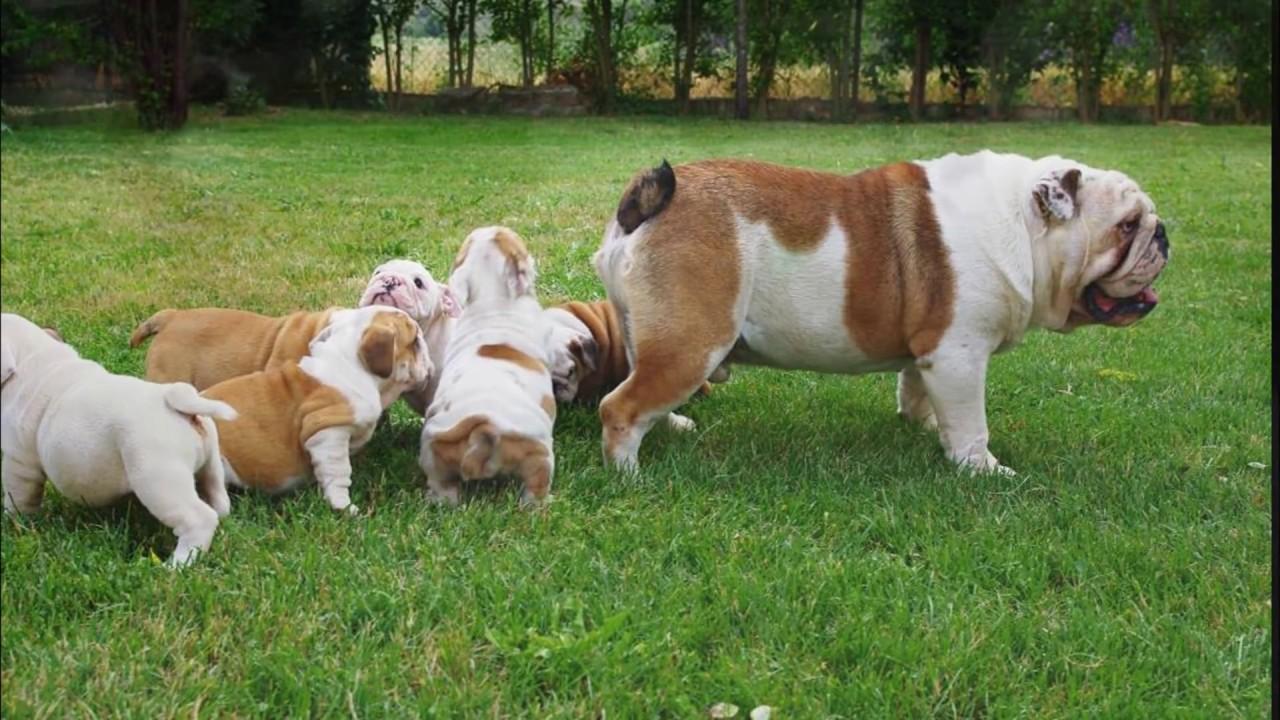 P De Perros Bulldog Ingles Mascota O No Youtube