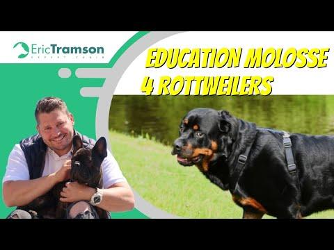 Comment éduquer 4 Rottweilers ?