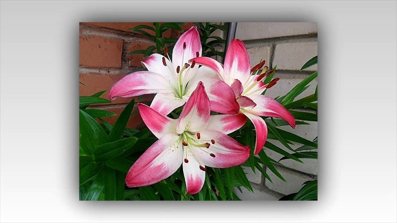 Flower lollipop lily asiatic lilies youtube flower lollipop lily asiatic lilies izmirmasajfo