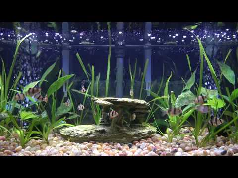 Tiger Barbs & Otocinclus Catfishes (4K)