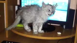Котенок чихает