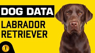 DOG DATA - LABRADOR RETRIEVER | Dogs 101 - Dog Breed Information & Facts