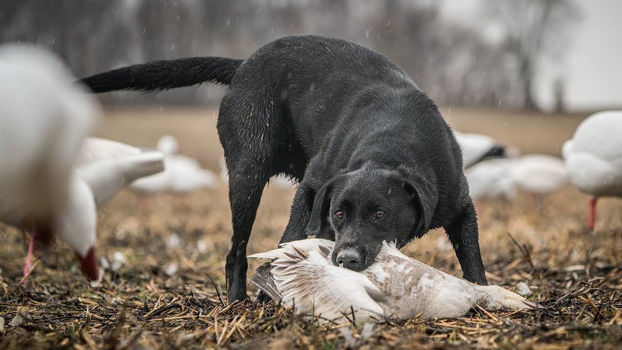 Duck Hunting Dogs Teamwork Fowled