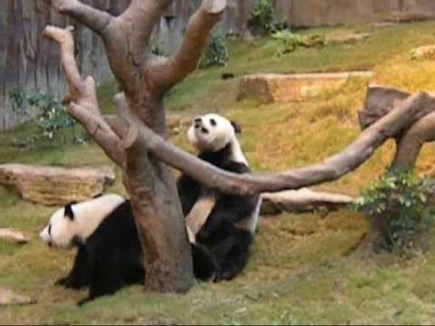 Giant Pandas Mating