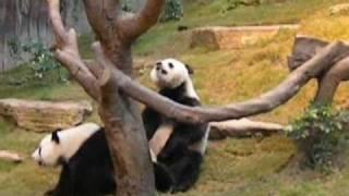 Giant Pandas Mating