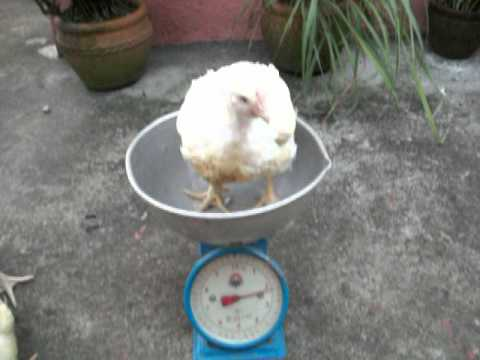 Raising Chickens in the Philippines - Weight 29 Days