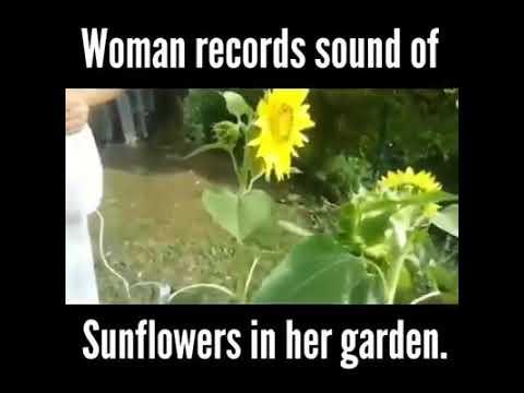 Sunflower singing thier own
