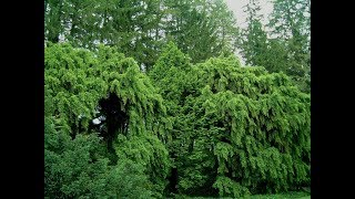 CULTIVAR.ORG: WEEPING CONIFERS by Larry Hatch