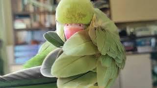 Aleksandretta obrożna mówi - Papuga Aruśka - jeden dzień z życia papugi.