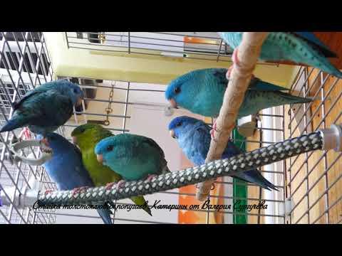 Попугаи Катерины (Bolborhynchus lineola)