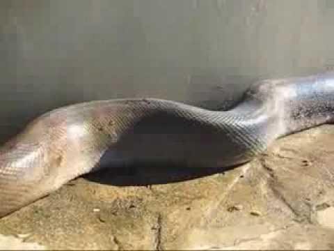 Con rắn khổng lồ nhất từ trước tới nay