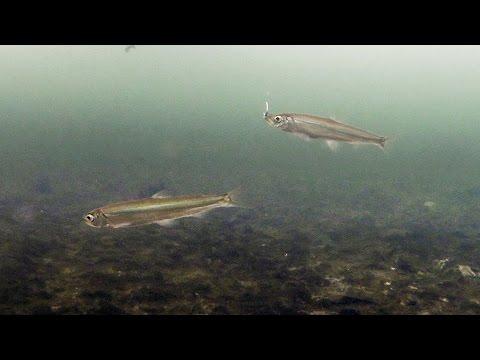 Корюшка на острове Русском. Подводная съемка рыбалки