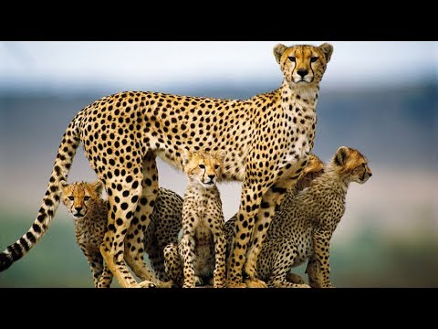 National Geographic Documentary - LEOPARDS FAMILY: Dead Tree Island - Wildlife Animal