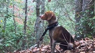hunting with dogs in charles city virgin...