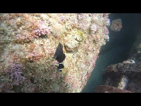 (먹)가막베도라치(Enneapterygius etheostomus 수컷혼인색 Male breeding color)~ Snake blenny, Snake triplefin