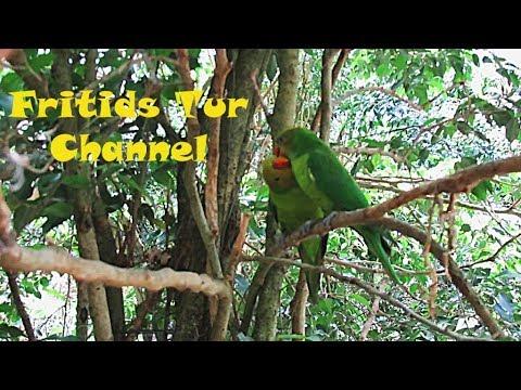Regent Parrot Call, Flirt