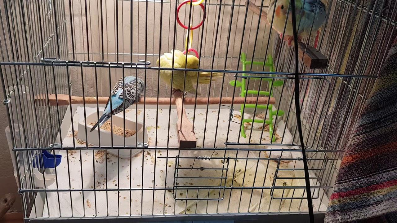 Muhabbet kuşu yavruları yeme nasıl düşürülür? Kuşlar kac gün de yeme düserler?Yeme geçme dönemı
