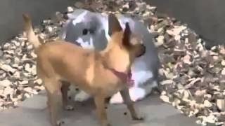 Animals Having Sex Breeding Reproducing Rabbit Humps Little Dog Mating FUNNY ~ Best Funny Animals by