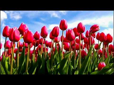 Tulips, Holland, Keukenhof Gardens, Netherlands. Голандские тюлпаны. Тюльпановые поля в Голландии.