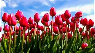 Tulips, Holland, Keukenhof Gardens, Netherlands. Голандские тюлпаны. Тюльпановые поля в Голландии.(Tulip and flower fields in Holland near Keukenhof Gardens, Netherlands. April is beautiful time to travel to Holland. View of flower fields is spectacular. Millions of ..., 2012-04-23T20:19:29.000Z)