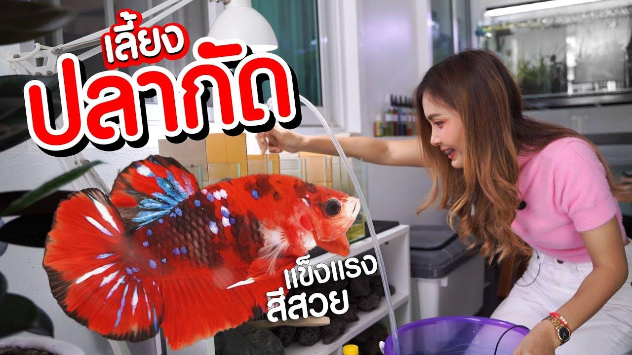 เลี้ยงปลากัดง่ายๆ มือใหม่ต้องดูแลยังไงบ้าง   MarangMod Channel