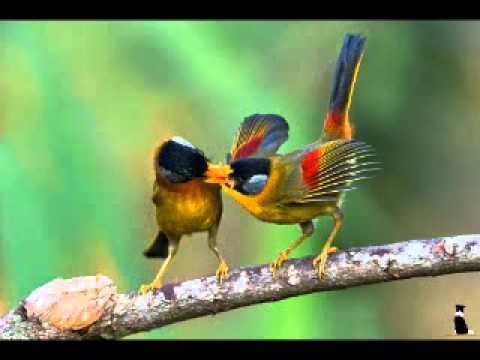 Bird Songs sound effects, Nature Sounds Relaxing Nature: Forest Bird  Sounds, sound effect