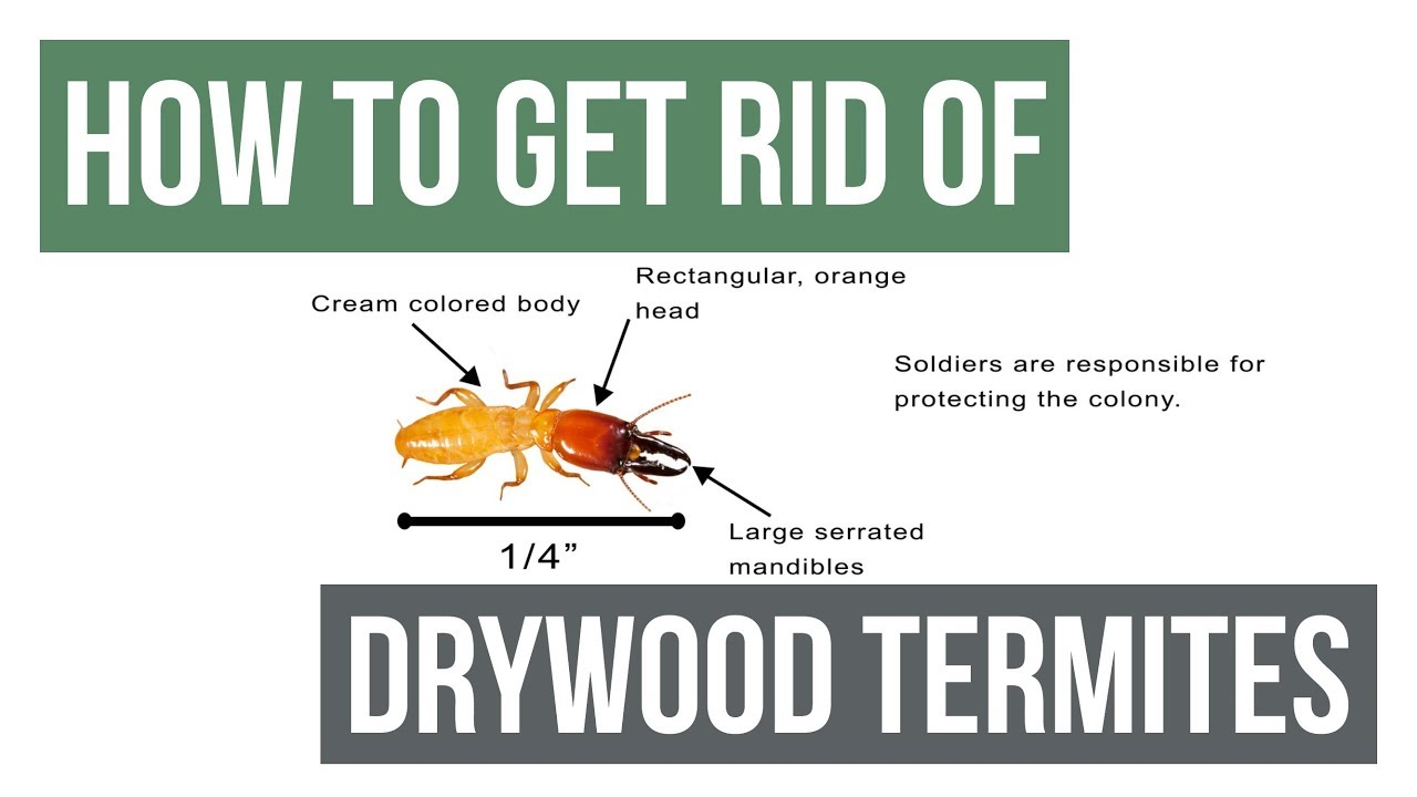 How To Get Rid Of Drywood Termites Guaranteed 4 Easy Steps