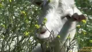 Goat in the field - Коза в огороде