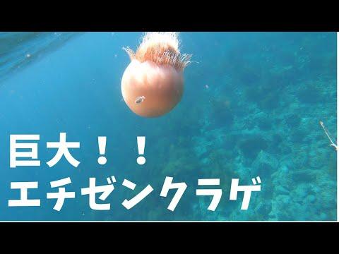 【週末】#13 巨大で優雅なエチゼンクラゲ【魚突き】