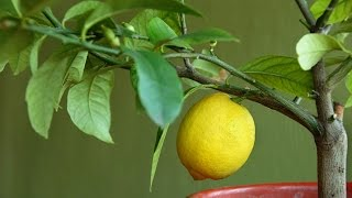 Выращиваем цитрусовые в домашних условиях. Лимон комнатный. Особенности ухода(Выращиваем цитрусовые в домашних условиях. Лимон комнатный. Особенности ухода https://youtu.be/QlSDc3BgDLQ Подписывайт..., 2015-05-13T14:02:00.000Z)