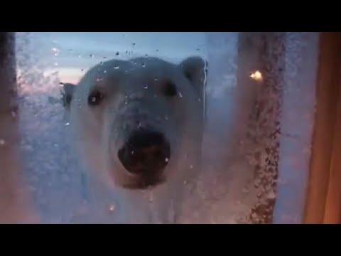 Living With Polar Bears in the Arctic - BBC Planet Earth Diaries