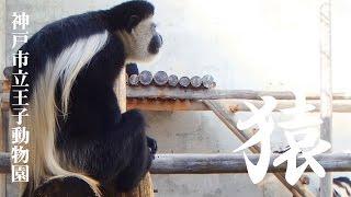 神戸市立王子動物園『アビシニアコロブス』 カッコいい角刈りお猿さんア...