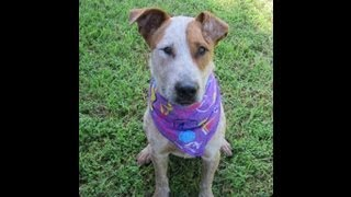 Rusty, Australian Cattle Dog, Has Been Adopted From Dog Rescue Newcastle