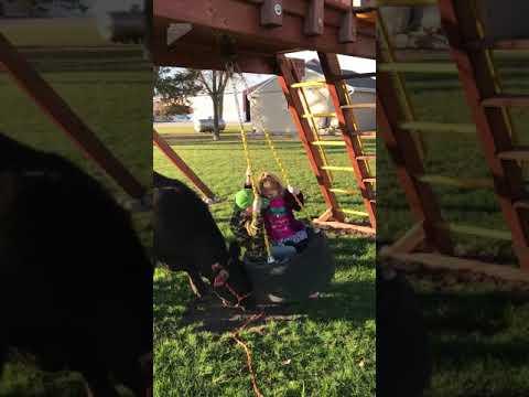A esta pequeña vaca le encanta jugar con niños empujando el columpio