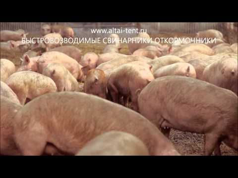 видео: СВИНОВОДСТВО КАК БИЗНЕС Ангар Свинарник откормочник видео