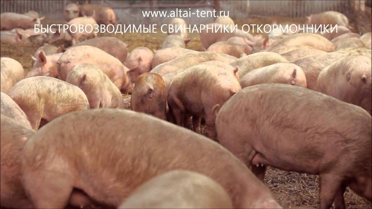 СВИНОВОДСТВО КАК БИЗНЕС Ангар Свинарник откормочник видео