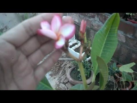 Plumeria Trees Care   How to Grow Plumeria Plants   Outdoor Planting   Flowering Plant (Urdu/hindi)