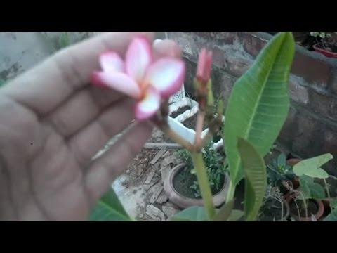 Plumeria Trees Care | How to Grow Plumeria Plants | Outdoor Planting | Flowering Plant (Urdu/hindi)
