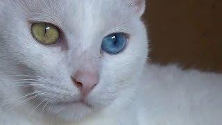 5 Najbardziej Rzadkich Ras Kotów