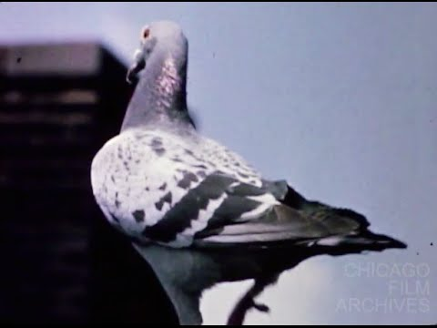 "2 Replies to ""Homing Pigeons vs. Carrier Pigeons: Are They the Same?"""