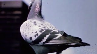 The Homing Pigeon (1963, Robert Ford)