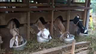 A variety Goat Farm