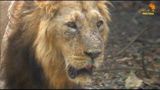 Wild Fauna / Прайд Азиатских Львов / Короткометражное видео