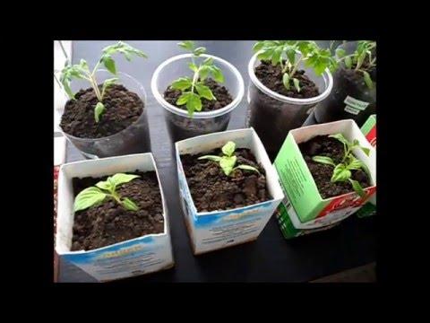 Рассада помидоров и перцев через месяц после посева