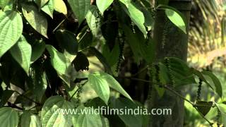 King of spices - Pepper in Kerala