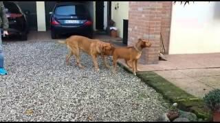 Pitt Bull Red Nose Incontro Con Dog De Bordeaux