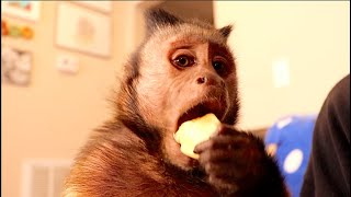 Monkey Inhales Banana!